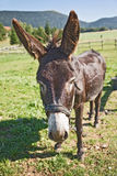 Donkey in a field Royalty Free Stock Photo