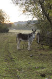 Donkey in a field Stock Images