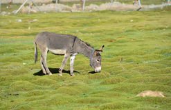 Donkey in the field Stock Photo