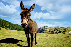 Donkey in the field Stock Photos