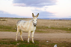 Donkey in a Field in sunny day Royalty Free Stock Image