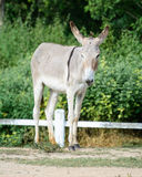 Donkey Royalty Free Stock Photography