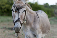 Donkey in a Field in sunny day. Animal series. Selective Focus Royalty Free Stock Photography