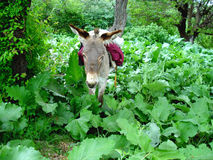 Donkey. First assistant Tajik farmer. Kulob region of Tajikistan Stock Photo