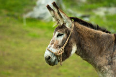 Donkey. Of a flock of mountain Royalty Free Stock Images