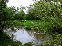 Lambs and donkey graze on the river bank. stock photos