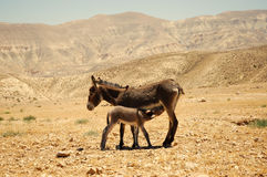 Donkey with foal. She-Donkey feeding its foal in Jordan desert Royalty Free Stock Images