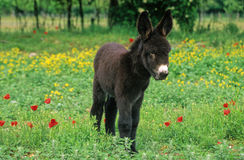 Donkey foal. Of the poitou, a real stuffed alive Stock Image