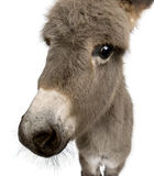 Donkey foal against white background Stock Photos