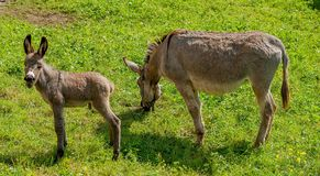 Donkey with foal Stock Images
