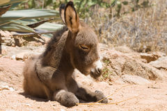 Donkey foal Stock Photo