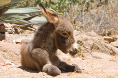 Donkey foal Royalty Free Stock Photography