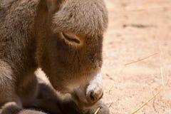 Donkey foal Stock Image