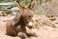 Donkey foal Stock Images