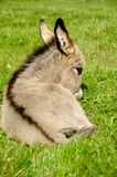 Donkey foal eating Stock Image