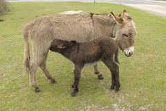Donkey with foal feeding on grass Stock Images