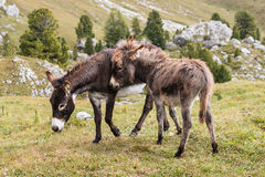 Donkey with foal grazing Royalty Free Stock Photos