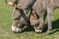 Donkey foal and mother grazing in a field. Baby or young donkey and its mother in profile grazing together in a field Stock Images
