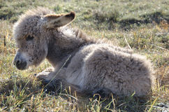 Donkey foal with ruffled fur Stock Photos