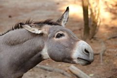 Donkey in the foreground. Donkey`s head in the foreground Royalty Free Stock Image