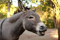 Donkey in the foreground. Donkey`s head in the foreground Royalty Free Stock Photo