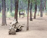 Donkey in the forest. A domestic gray Jerusalem donkey standing among the trees in the forest Stock Photos