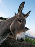 Donkey in front of barn. A donkey in front of a barn in Switzerland Stock Image