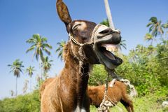 Donkey Funny Animals. Is a happy humorous donkey laughing at something very very funny stock images