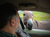 Donkey funny moment looking inside car Royalty Free Stock Photo