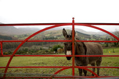 Donkey at gate in Ireland. On wet day stock images