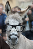 A donkey with glasses. While looking at you Stock Photography