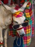 Donkey glasses Stock Images