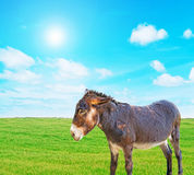 Donkey on the grass Royalty Free Stock Images