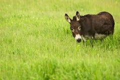 Donkey in Grass Stock Photos