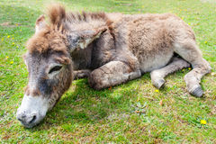 Donkey on grass Royalty Free Stock Image