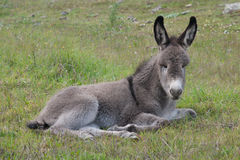 Donkey gray baby resting Royalty Free Stock Photo