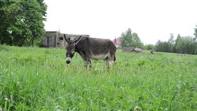 Donkey graze pasture rain Royalty Free Stock Images