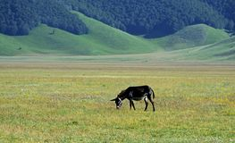 Donkey grazes grass in a plain of Castelluccio, Italy royalty free stock image