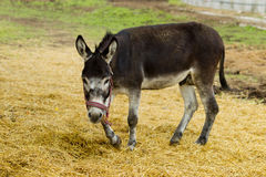 Donkey grazes on a summer day Royalty Free Stock Photography