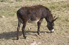 Donkey grazing. Royalty Free Stock Photography