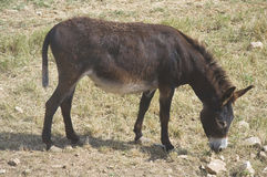 Donkey grazing. Royalty Free Stock Photo