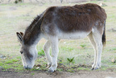 A donkey grazing. Royalty Free Stock Images