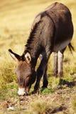 Donkey grazing Stock Image