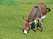 Donkey Grazing. In the meadow Royalty Free Stock Image