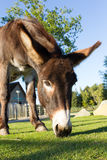 Donkey grazing Royalty Free Stock Photos