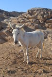 Donkey. A donkey grazing in the African desert royalty free stock images