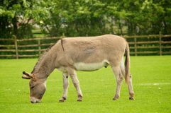Donkey. Grazing donkey in the field Royalty Free Stock Image