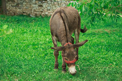 Donkey grazing Stock Images