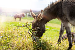 Donkey. Grazing donkey in the field. Shot in summer 2017 Ireland royalty free stock photo