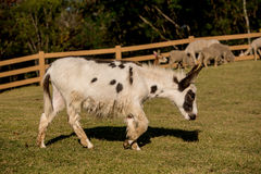Donkey grazing in a field Stock Photo